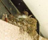Eastern Phoebe - Sayornis phoebe (on nest)