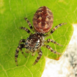Peppered Jumper - Pelegrina galathea (female)