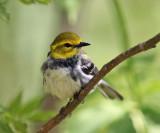 Black-throated Green Warbler - Setophaga virens (female)