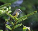 American Redstart - Setophaga ruticilla (female)