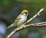 Chestnut-sided Warbler - Setophaga pensylvanica (female)