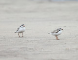 Piping Plover - Charadrius melodus