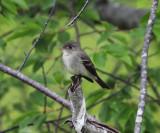 Eastern Wood-Pewee - Contopus virens