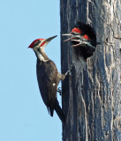 Pileated Woodpecker - Dryocopus pileatus (male feeding young)