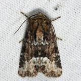 9415.1 – Marbled Minor – Oligia strigilis
