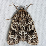 9259 – Night-Wandering Dagger Moth – Acronicta noctivaga