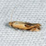 0577 - Bucculatrix pomifoliella