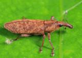 Lixus scrobicollis