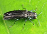 Agrilus otiosus species group