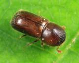 Xyloterinus politus