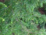 Hemlock Woolly Adelgid - Adelges tsugae