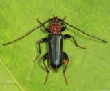 Tanbark Borer - Phymatodes testaceus