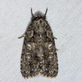 9243 – Ovate Dagger Moth – Acronicta ovata