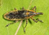 Lixus concavus
