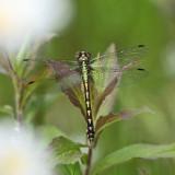 Brook Snaketail - Ophiogomphus aspersus