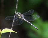 Delta-spotted Spiketail - Cordulegaster diastatops