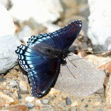 Red-Spotted Purple - Limenitis arthemis astyana