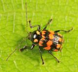 Bassareus formosus