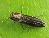 Agrilus sp.