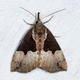 8443 - Dimorphic Bomolocha - Hypena bijugalis