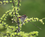 Swamp Sparrow  Melospiza georgiana
