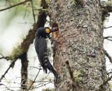 Black-backed Woodpecker - Picoides arcticus (male feeding chicks)