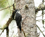 Black-backed Woodpecker - Picoides arcticus (male)