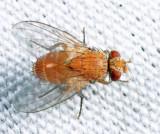 Tachininae - Siphonini - Ceromya sp.