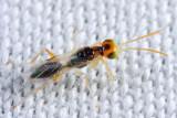 Wasps - Dryinidae