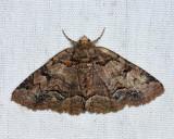 8704 - Brown-spotted Zale - Zale helata