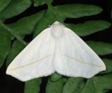 6964 - White Slant-Line - Tetracis cachexiata