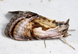 8904 - Formosa Looper - Chrysanympha formosa