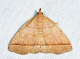 8351 - Early Zanclognatha - Zanclognatha cruralis