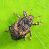 Eubulus obliquefasciatus