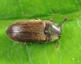 Aulonothroscus punctatus