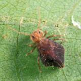 Sminthurus sp.