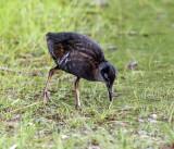 Virginia Rail - Rallus limicola (young chick)