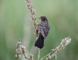 Red-winged Blackbird - Agelaius phoeniceus (female)