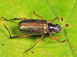 Dichelonyx elongatula