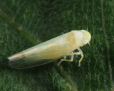 Leafhoppers genus Zonocyba