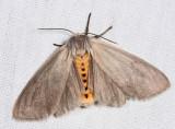 8238 - Milkweed Tussock Moth - Euchaetes egle