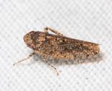 Paraphlepsius irroratus