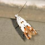 1443 - Red-streaked Mompha - Mompha eloisella