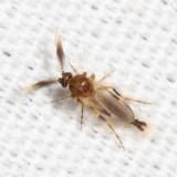 Forcipomyia glauca