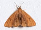 8118 - Tawny Virbia - Virbia opella
