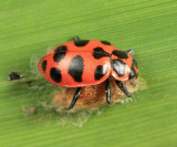 Lady Beetle parasitized by Dinocampus coccinellae