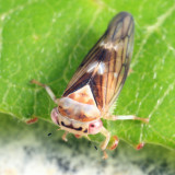 Idiocerus formosus