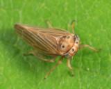 Four-spotted Clover Leafhopper - Agallia quadripunctata