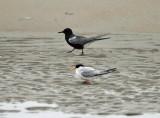 Black Tern - Chlidonias niger