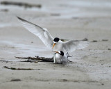 Least Terns - Sternula antillarum (mating)